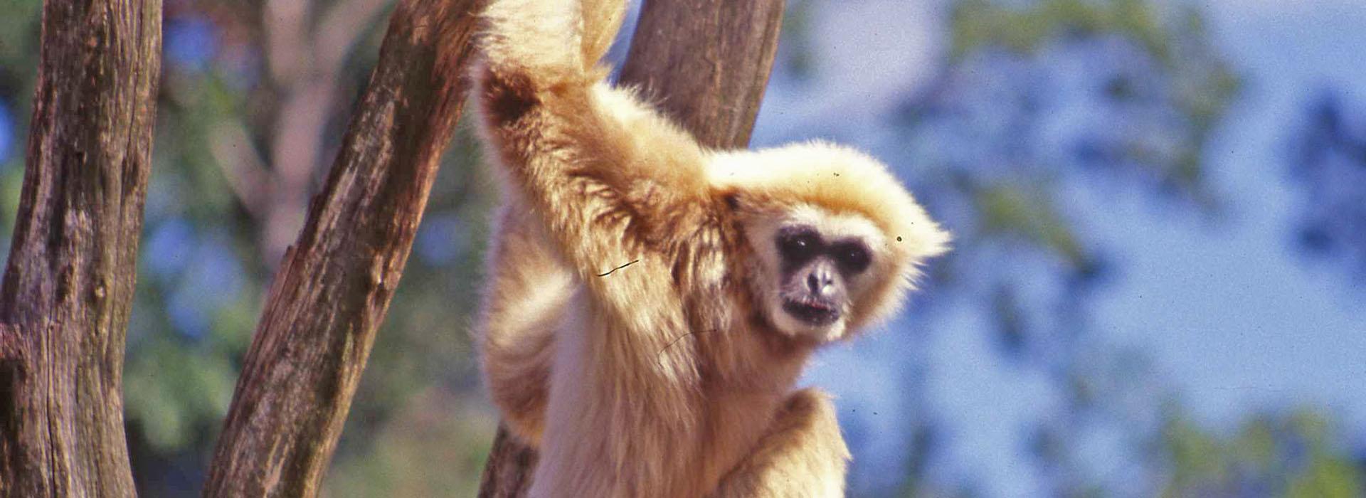 Apa i ett träd på Parken Zoo 1998. Foto Studio Roland.