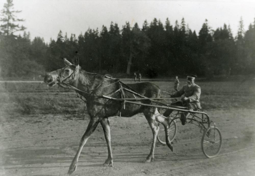 Tama älgen Lotta står förspänd framför sulkyn på Hällefors bruk 1908. Foto okänd.