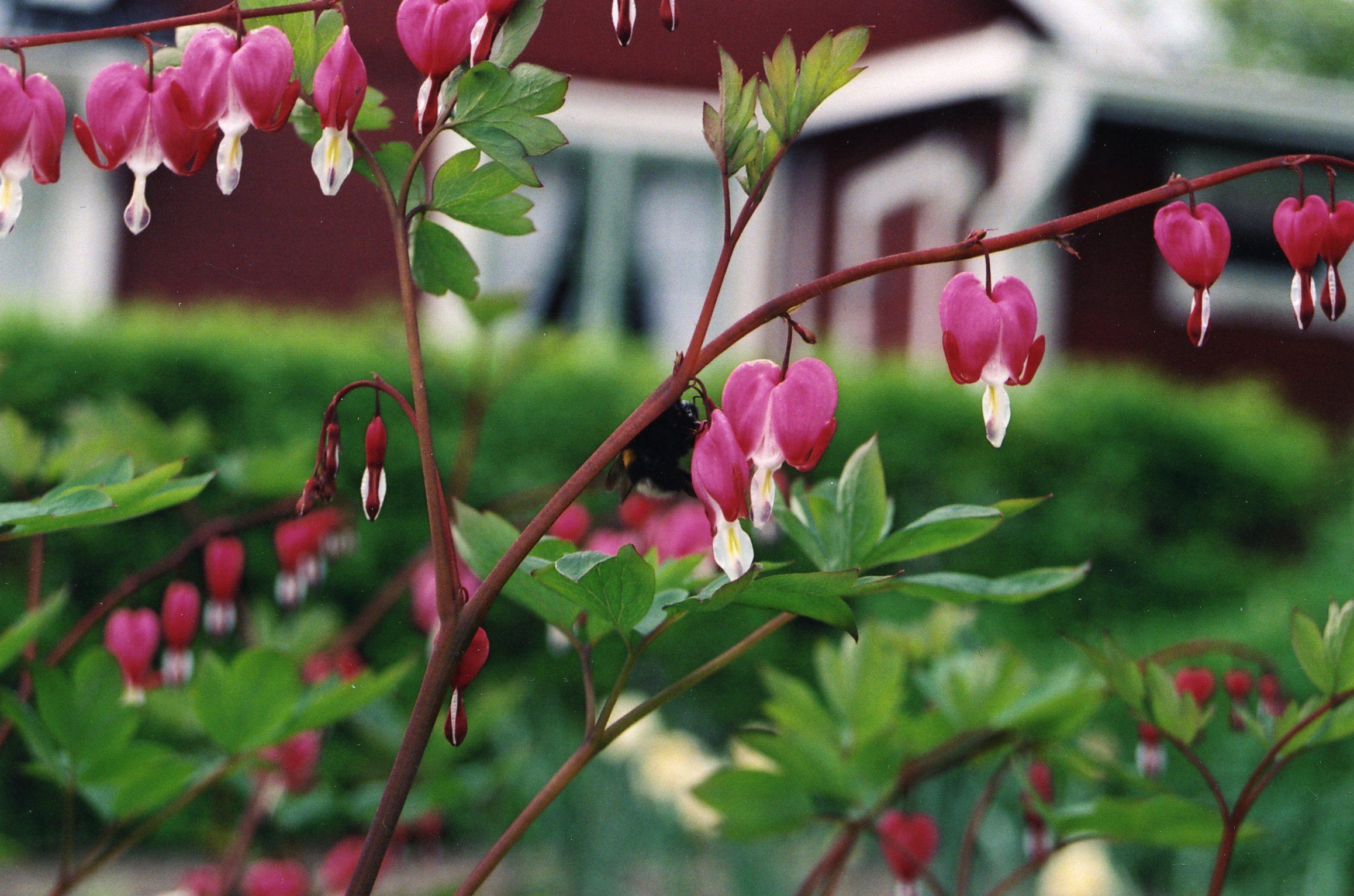 Löjtnantshjärtan blommar i Vilsta koloniområde. Foto: P. Jonsson