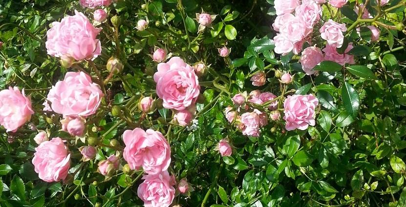 Blommande rosor i Nyköping. Foto H Karlsson